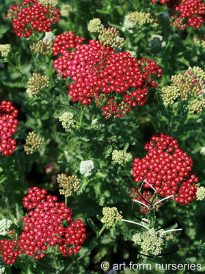 Achillea New Vintage Red Flowers & Plantings by H&M Landscaping