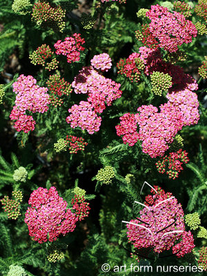 Achillea New Vintage Rose Flowers & Plantings by H&M Landscaping