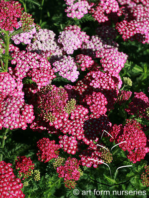 Achillea New Vintage Violet Flowers & Plantings by H&M Landscaping