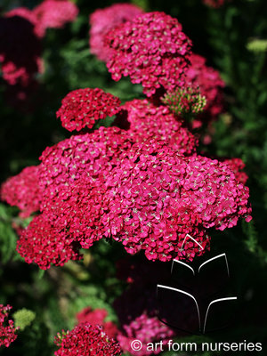 Achillea Saucy Seduction Flowers & Plantings by H&M Landscaping