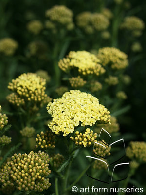 Achillea Sunny Seduction Flowers & Plantings by H&M Landscaping