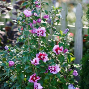 H&M Landscaping - Drought-Tolerant Plant Installation - Rose of Sharon