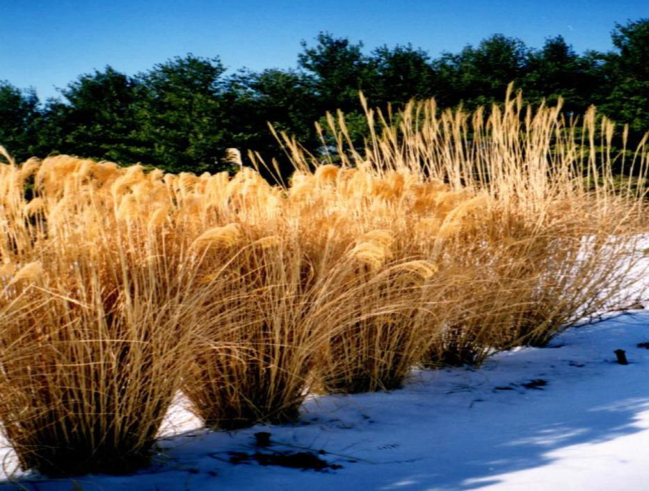 H&M Landscaping Installs Ornamental Grasses for Landscape Privacy