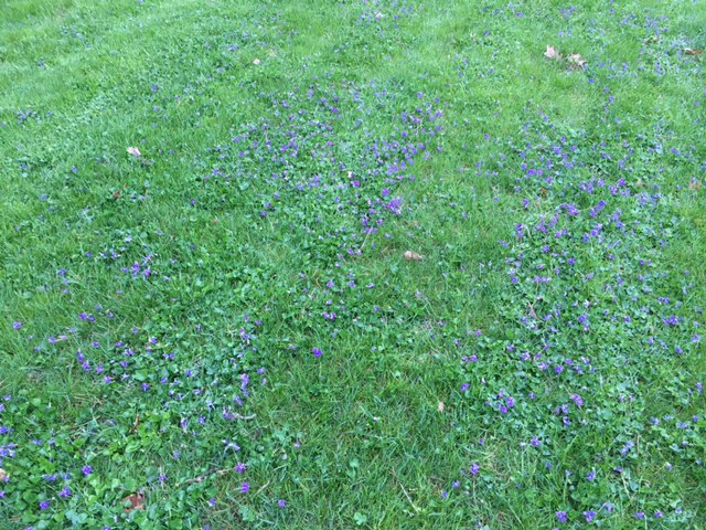 Cleveland Ohio Landscaping - Violets in Lawn Solved with Fall Fertilization